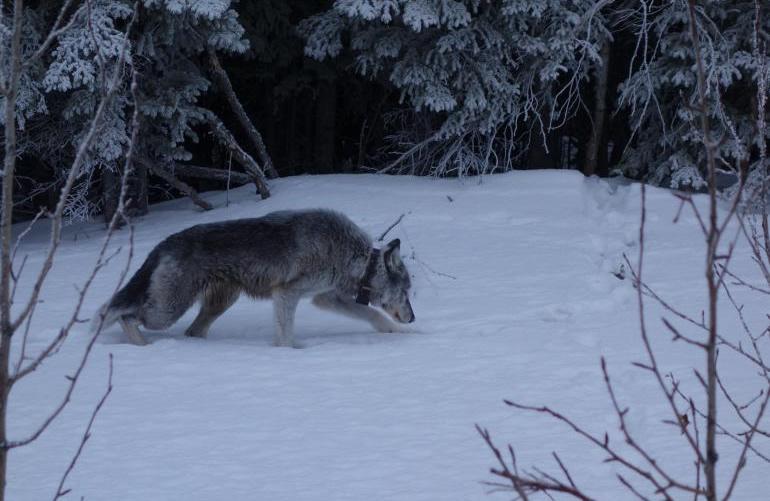 riley-denali-wolf
