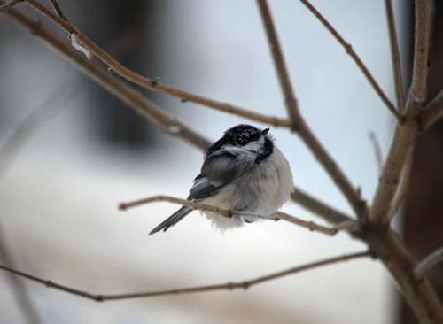 Black-capped-Chickadee-alaska